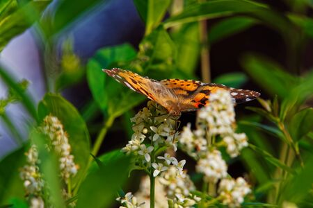 Painted lady butterfly (Cynthia Cardui) with opened wings on white flower of privet hedge Standard-Bild