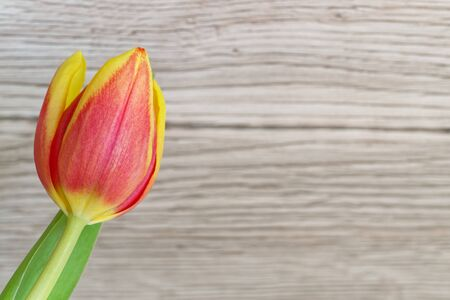 Red yellow single tulip flower against wooden background