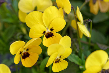 Close-up of small yellow pansies flowers on sunny day Standard-Bild