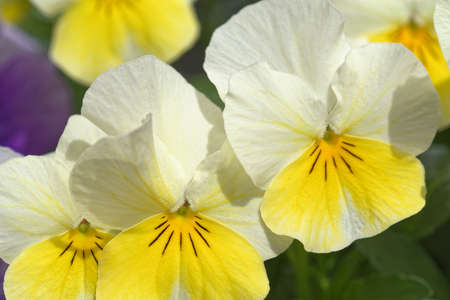 Close-up of white yellow pansies flowers on sunny day