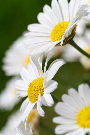 Side view of group daisies flowers with white petals. Macro Standard-Bild