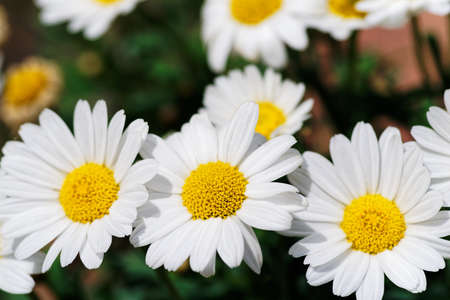 Close-up of group of daisies flowers with white petals on sunny day