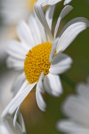 Side close-up view of single daisy flowers with white petals. Macro shoot Standard-Bild