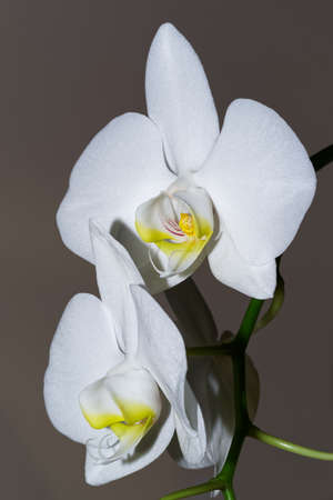Close-up of white orchid flowers against gray background