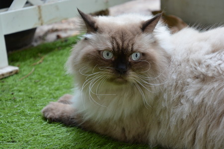 Himalayan Cat with Blue eyes on the grass