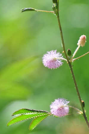 Sensitive plant   mimosa pudica   , thailand photo