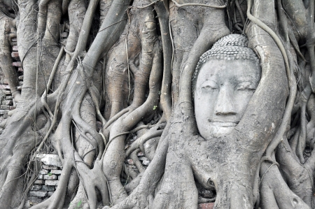 Big head buddha at tree in Wat Mahatrat temple in Ayuttaya historical park , Middle of Thailand photo