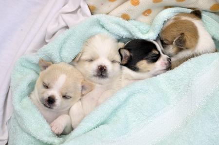 chiwawa puppy dog pet sleep Stock Photo