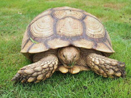 spurred: African Spurred Tortoise Geochelone sulcata