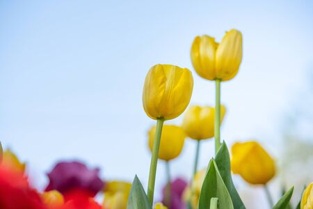 tulip flower in garden Stock Photo