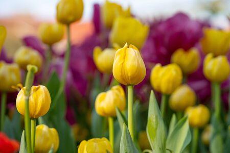 tulip flower in garden outdoor