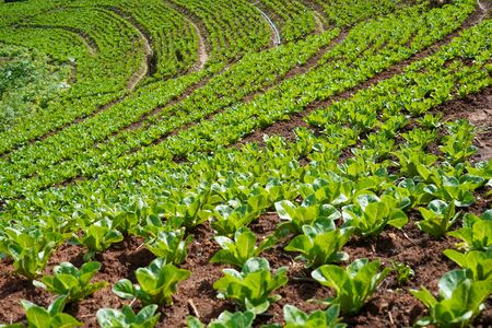 Vegetable plots of local agriculture, rural agriculture in Asian countries Stock Photo