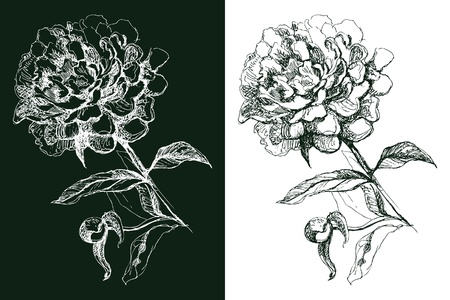 Peony flower, hand drawn illustration Vector