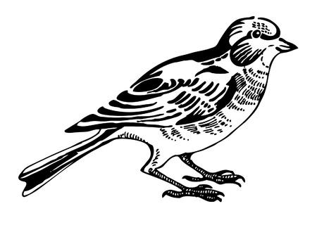 Linnet bird, sketch drawing Vector