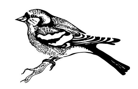 Fringuello uccello, disegnati a mano illustrazione Vettoriali