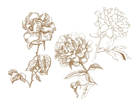 rose bush: Floral collection  Hand-drawn illustrations Illustration