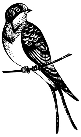 golondrinas: Swallow pájaro, dibujado a mano ilustración Vectores
