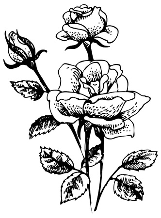 Roses. Hand-drawn illustration of rose flowers   bouquet  Vector