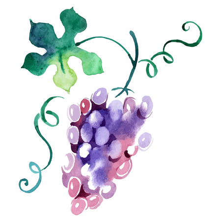 grape fruit: Painted watercolor grape. Vector illustration
