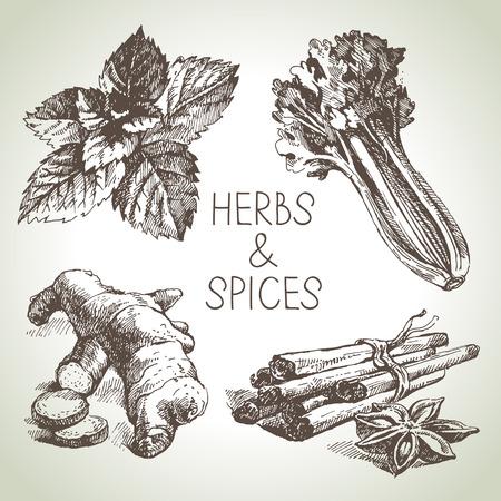 jenjibre: Hierbas y especias de la cocina. Dibujado a mano los elementos de dise�o del bosquejo Vectores