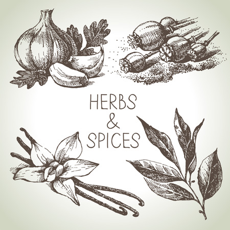 Kitchen herbs and spices. Hand drawn sketch design elements  Vector
