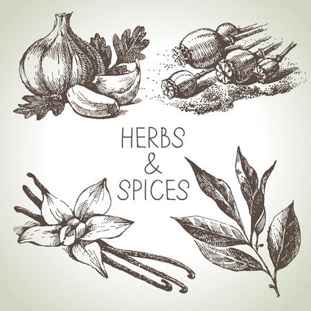allspice: Kitchen herbs and spices. Hand drawn sketch design elements