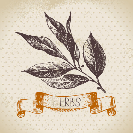 Kitchen herbs and spices. Vintage background with hand drawn sketch bay leaf Vector