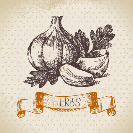 Kitchen herbs and spices. Vintage background with hand drawn sketch garlic Vector