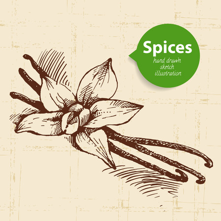 allspice: Kitchen herbs and spices. Vintage background with hand drawn sketch vanilla Illustration