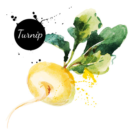 Turnip  Hand drawn watercolor painting on white background  Vector illustration Vector