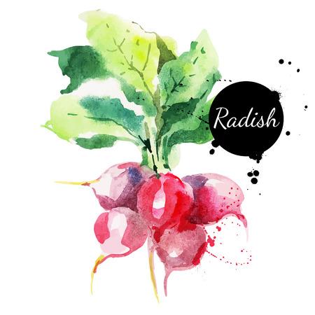 watercolours: R�bano con hojas Dibujado a mano la pintura acuarela sobre fondo blanco Vector ilustraci�n