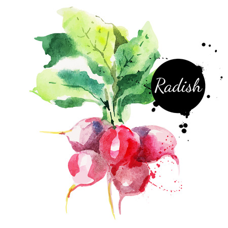 food on white: Radish with leaf  Hand drawn watercolor painting on white background  Vector illustration