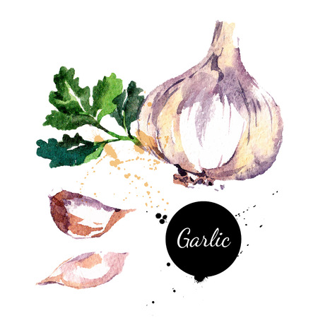 food on white: Garlic. Hand drawn watercolor painting on white background. Vector illustration