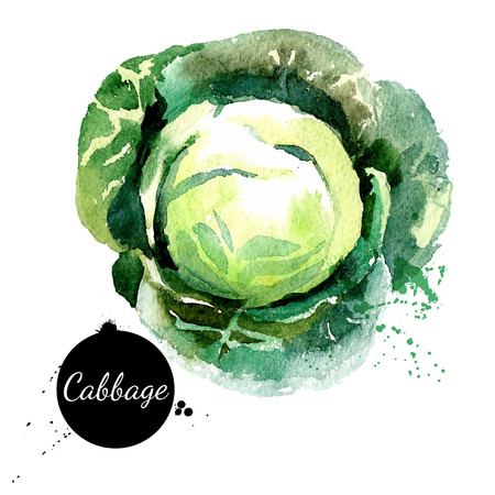 Cabbage. Hand drawn watercolor painting on white background. Vector illustration
