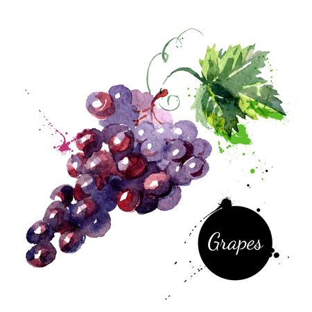 agricultura: Mano acuarela dibujada sobre fondo blanco. Ilustraci�n vectorial de uvas de frutas Vectores