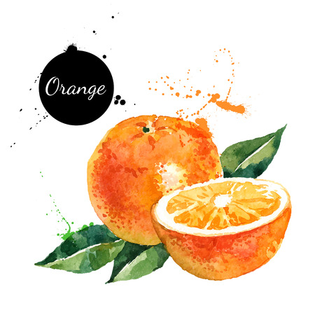 Hand drawn watercolor painting on white background. Vector illustration of fruit orange Vectores