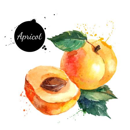 agricultura: Mano acuarela dibujada sobre fondo blanco. Ilustraci�n vectorial de frutas de albaricoque Vectores