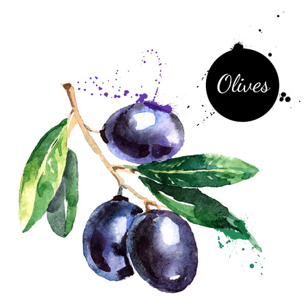 Hand drawn watercolor painting on white background. Vector illustration of fruit olives Ilustração