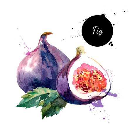 Hand drawn watercolor painting on white background. Vector illustration of fruit fig Vectores