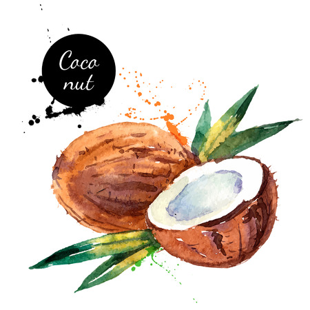 coconut leaf: Hand drawn watercolor painting on white background. Vector illustration of fruit coconut