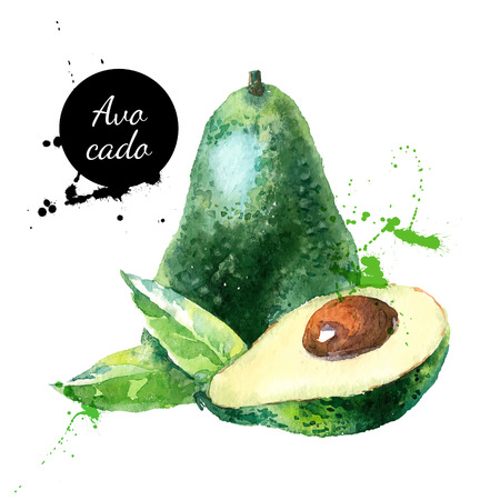 of fruit: Hand drawn watercolor painting on white background. Vector illustration of fruit avocado