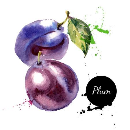 Acquerello disegnato pittura a mano su sfondo bianco. Illustrazione vettoriale di frutta prugna