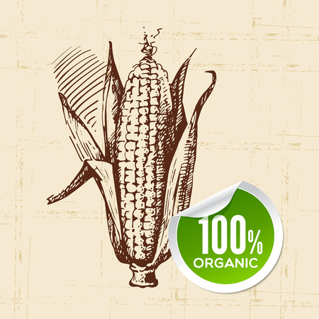 maize: Hand drawn sketch vegetable corn. Eco food background.Vector illustration