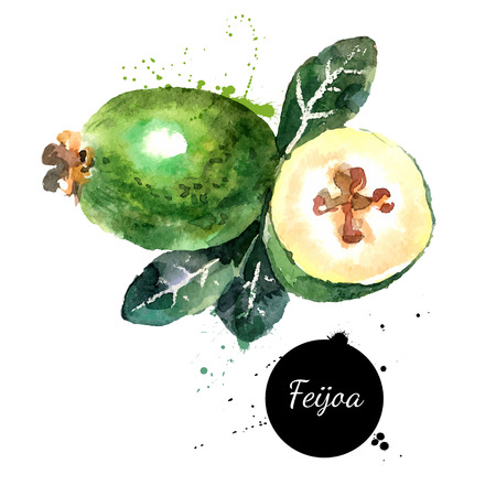 Hand drawn watercolor painting on white background. Vector illustration of fruit feijoa Illustration