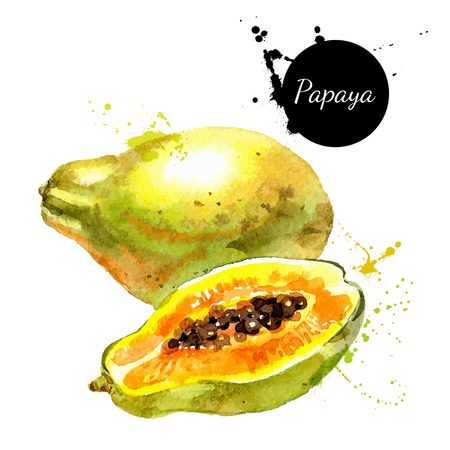 Hand drawn watercolor painting on white background. Vector illustration of fruit papaya Vettoriali
