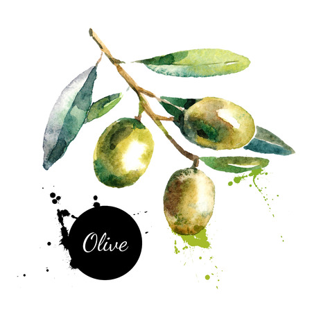 Hand drawn watercolor painting on white background. Vector illustration of fruit olives Vectores