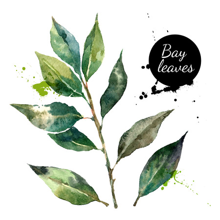 leaf: Kitchen herbs and spices banner. Vector illustration. Watercolor bay leaf