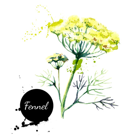 fennel: Kitchen herbs and spices banner. Vector illustration. Watercolor fennel