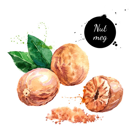 nutmeg: Hand drawn watercolor painting nut on white background. Vector trace illustration of nutmeg