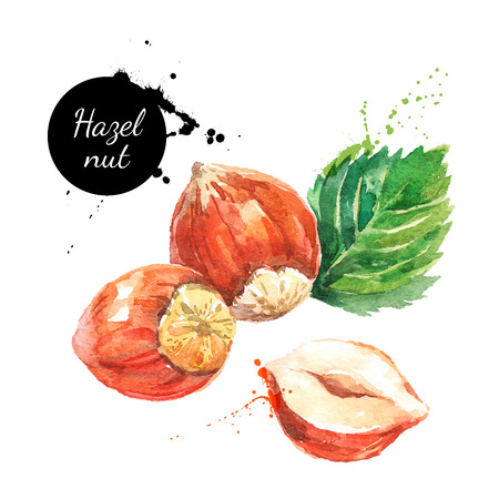 Hand drawn watercolor painting nut on white background. Vector trace illustration of hazelnut Vectores